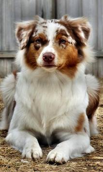 australian shepherd dogs poster