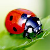 Ladybird Wallpaper icon