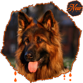 HD Amazing German Shepherd Wallpapers • Pets Dogs icon