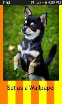 Chihuahua Wallpapers apk screenshot