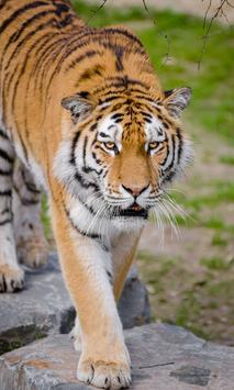 Tiger Wallpapers HD (backgrounds & themes, 2018) apk screenshot