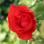 Red Rose Wallpaper icon