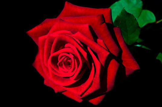 Red Rose Wallpaper poster