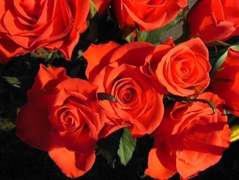 Red Rose Wallpaper screenshot 1