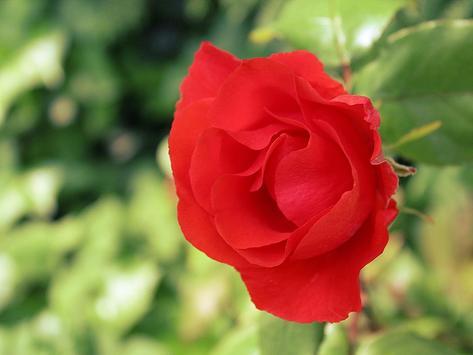 Red Rose Wallpaper screenshot 3