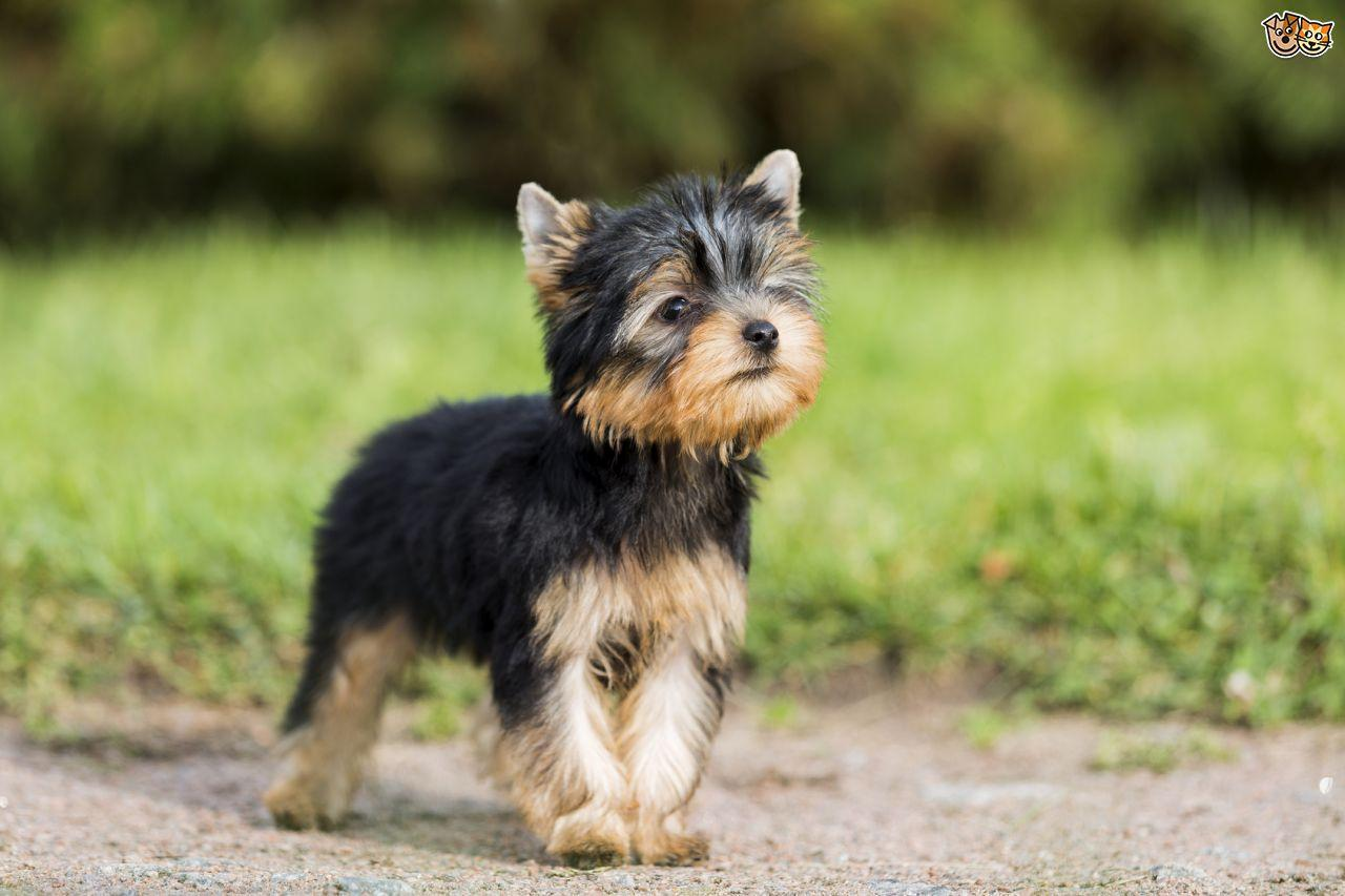 Yorkshire Terrier Wallpaper HD poster Yorkshire Terrier Wallpaper HD screenshot 1 ...