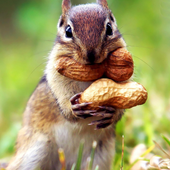 Funny Squirrel Jigsaw Puzzles icon