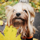 Yorkshire Terrier Images Jigsaw Puzzles icon