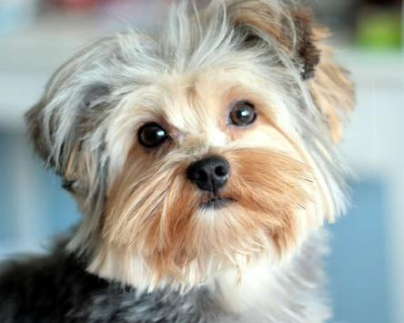 Yorkshire Terrier Images Jigsaw Puzzles screenshot 3