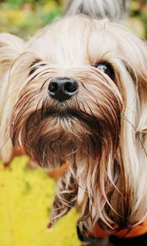 Yorkshire Terrier Images Jigsaw Puzzles poster