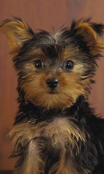 Yorkshire Terrier Images Jigsaw Puzzles screenshot 2