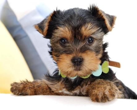 Yorkshire Terrier Images Jigsaw Puzzles screenshot 4