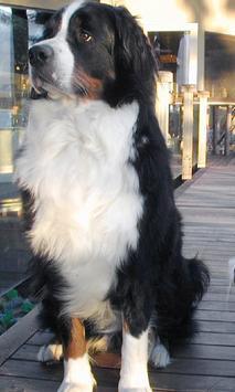 Bernese Mountain Dogs Themes apk screenshot