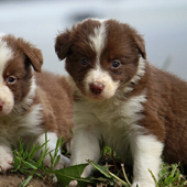 Border Collie Dogs Wallpapers icon