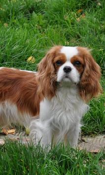 Cavalier Spaniel Dogs Themes poster