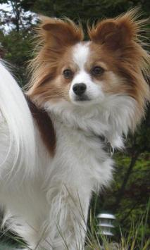 Papillon Dogs Wallpapers poster
