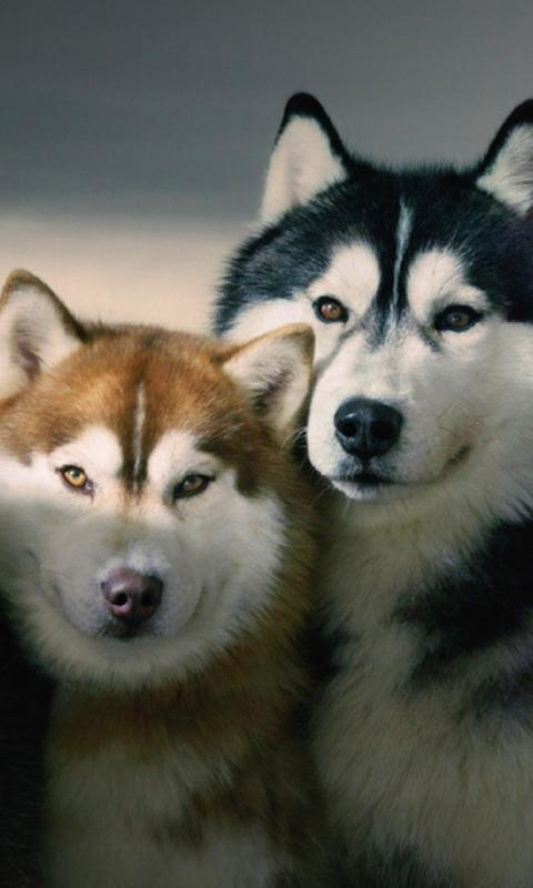 Siberian Husky Dogs Wallpapers For Android Apk Download