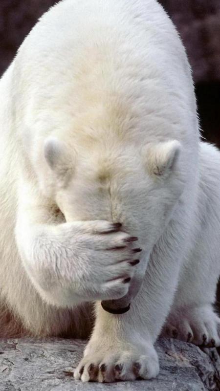 Animals Polar Bear Wallpaper Fur Android Apk Herunterladen