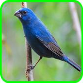 Canto de Passaro Azulinho icon