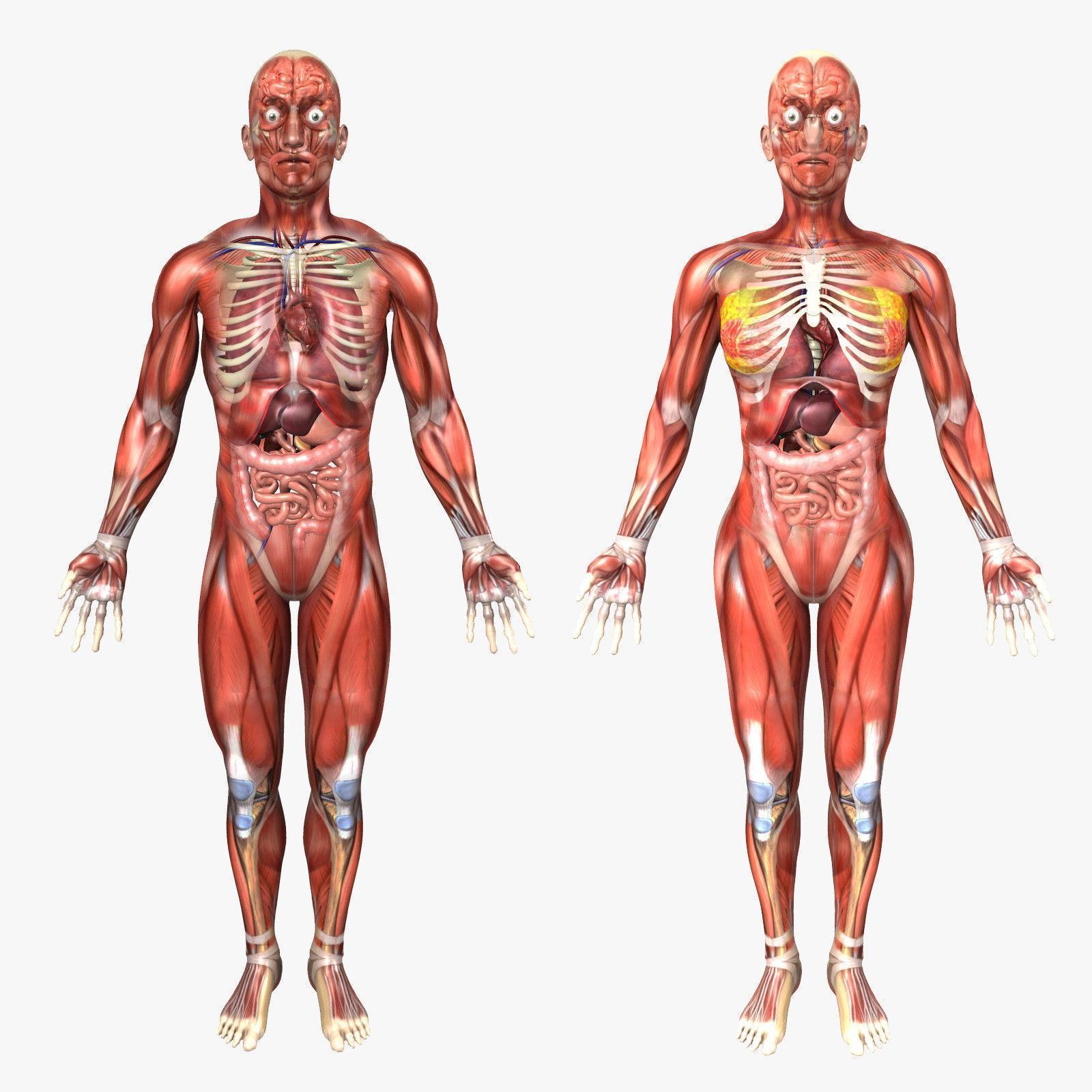 Анатомия человека в картинках системы