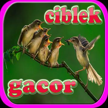Kicau Ciblek Super Gacor apk screenshot
