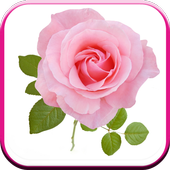 New Beautiful HD Roses Wallpapers icon