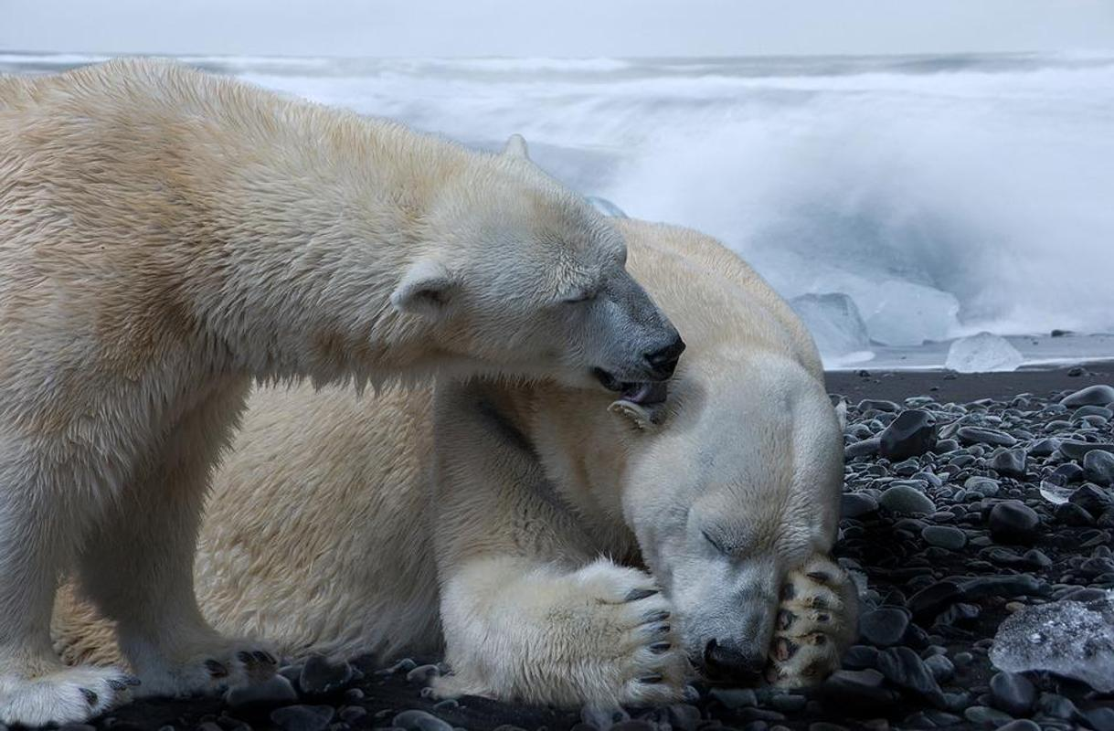 Polar Bear Wallpapers For Android Apk Download