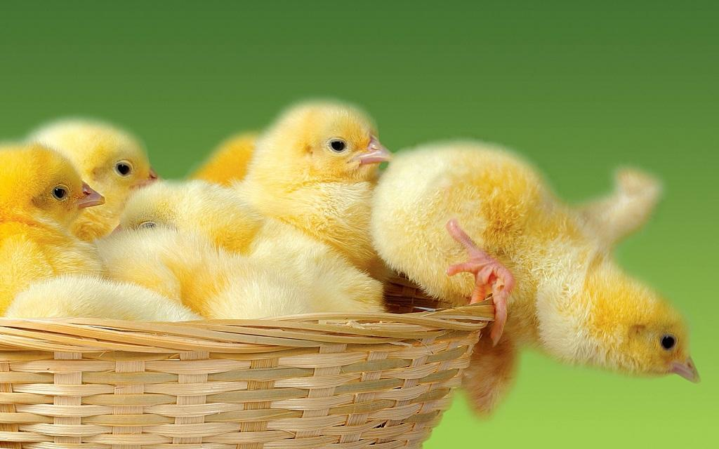 Cute Baby Chicken Wallpapers For Android Apk Download