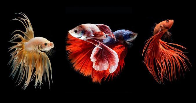 Betta Fish Wallpapers apk screenshot