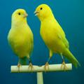 Kanarya Kuşu Sesleri, Zil Sesi