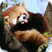 Cute Red Panda icon