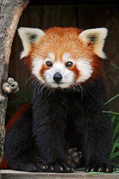 Cute Red Panda screenshot 5