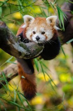 Cute Red Panda screenshot 1
