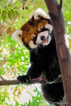 Cute Red Panda screenshot 2