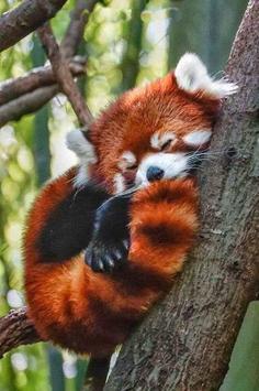 Cute Red Panda screenshot 3