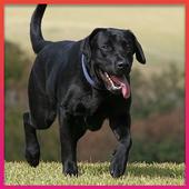 Labrador Retriever Wallpapers icon