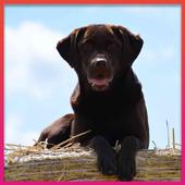 Labrador Retrievers Wallpaper icon