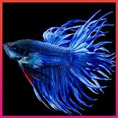 Betta Fish Wallpapers icon