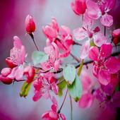 Flores de Primavera icon