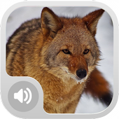 Coyote Sounds! icon