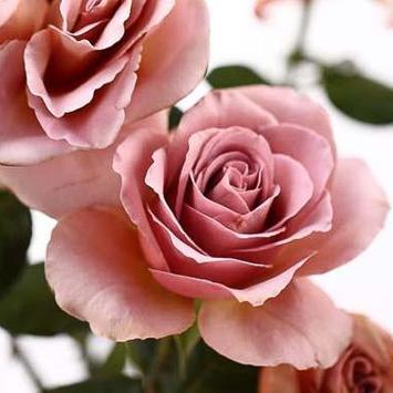 Beautiful Roses screenshot 3