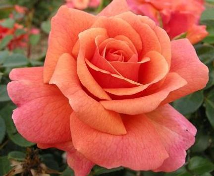 Beautiful Roses poster