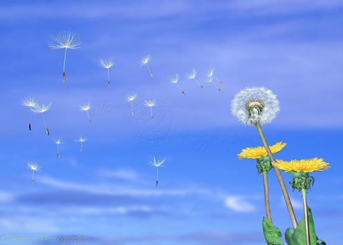 Dandelion Live Wallpaper screenshot 1