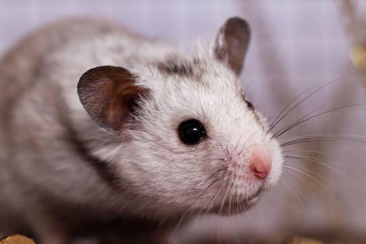 Hamster Walpaper screenshot 4