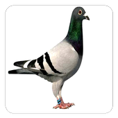Pigeon Sounds icon
