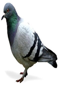 Pigeon Sounds screenshot 1