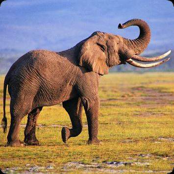 Elephant Sounds apk screenshot
