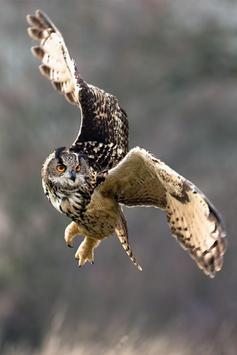 Night Owl Wallpaper screenshot 1
