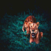 Great Lion Wallpapers icon