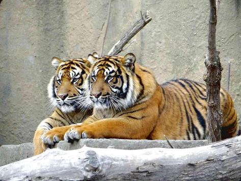 Cool Tiger Wallpaper apk screenshot